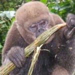 Affe ißt Guabas Frucht