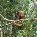 Brüllaffen, Amazonas Ecuador