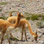 Vicuñas am Chimborazo