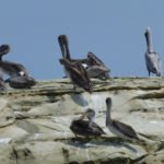 Pelikane - Strand Ecuador