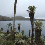 Frailejones im Naturreservat El Angel im Norden Ecuadors