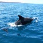 Delfin Galapagos