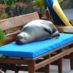Seelöwe auf Couch