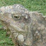 Guayaquil - Iguana