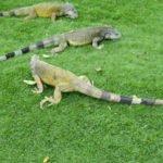 Guayaquil - Iguana Park