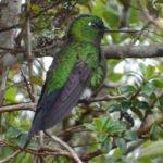 Kolibri im Nebelwald
