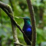 Kolibri im Nebelwald, Ecuador