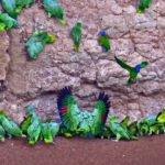 Papageien Lehmlecke