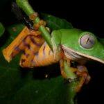 Frosch bei Nacht, Urwald Ecuador