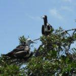 Puerto El Morro - Fregattvögel