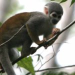 Kapuzineräffchen, Amazonas Ecuador