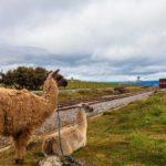 Lamas an der Bahnstrecke Ecuador