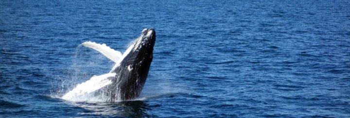 Walbeobachtung in Ecuador - Buckelwal